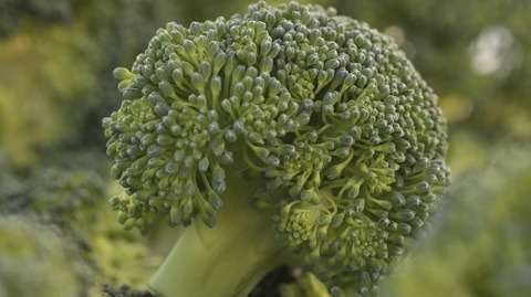 Karate Zeon toegelaten in broccoli